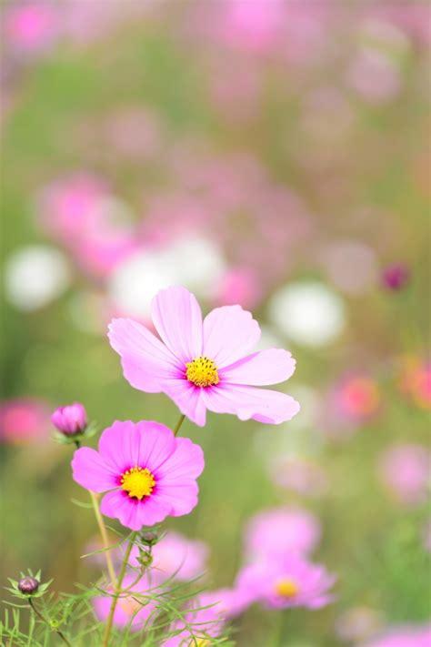 imagenes de flores naturales gratis 清新格桑花图片