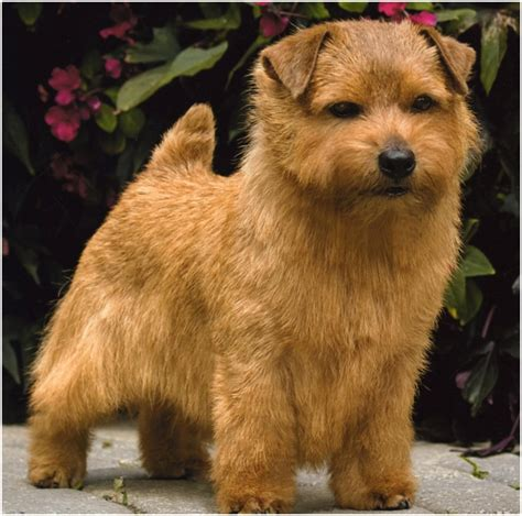 price of westie puppies norfolk terrier facts pictures puppies price breeders shedding animals adda
