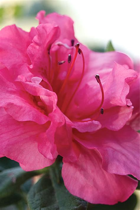 buy autumn rouge encore azalea  sale   wilson