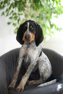 blue tick hound dogs hounds pinterest bluetick