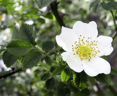 fiori biancospino biancospino controindicazioni tintura madre la tintura