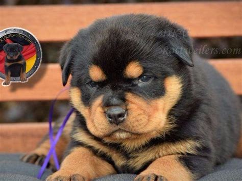 where to find rottweiler puppies german rottweiler puppies for sale rottweiler puppies for sale