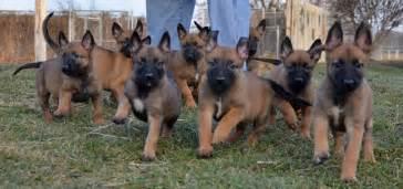 belgian shepherd texas breeders belgian malinois puppies ch import linesdog belgian