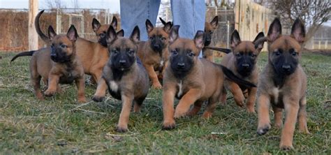 belgium malinois puppy belgian malinois info temperment care puppies pictures