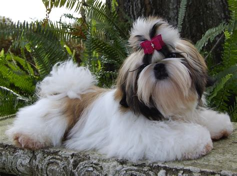 when does a shih tzu puppy become a shih tzu breed standards