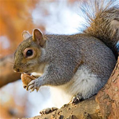 squirrel buries nut in spark squirrels bury nuts but are they planning ahead human spark