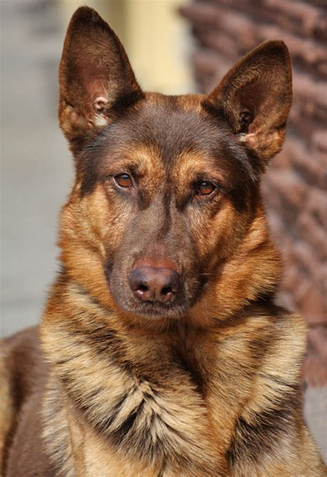 liver german shepherd liver colored german shepherds quotes