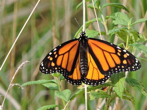 monarch butterfly monarch butterfly danaus plexippus natureworks