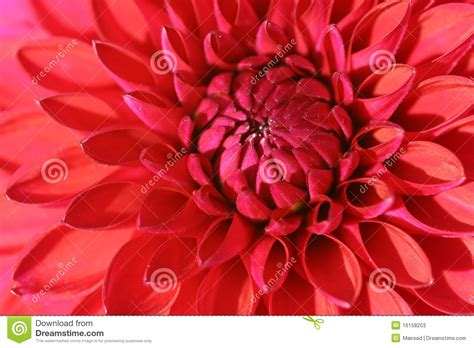 la flor de dalia laberinto flor roja de la dalia imagen de archivo imagen de p 233 talos