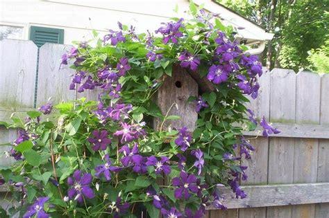 clematis viticella etoile violette 4887 plantfiles pictures clematis viticella clematis late