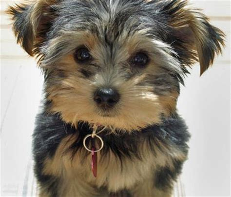 fluffy yorkie puppy stella the terrier puppies daily puppy