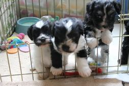 bydand havanese revolution kennels previous litters