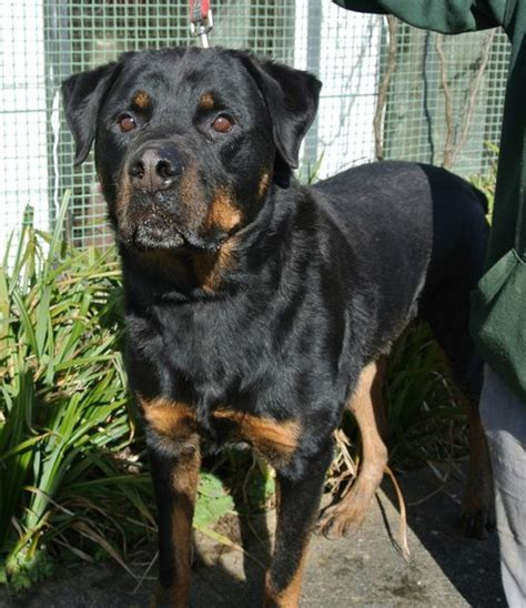 rottweilers for adoption lennox 8 year rottweiler for adoption