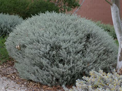 emu bush eremophila glabra silver ball emu bush gardening