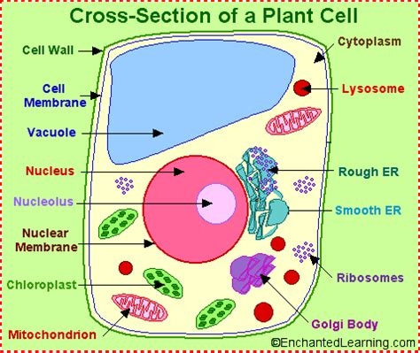 cross section of an plant cell cross section plant cell biology cell structure an
