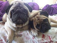 snuggle pug pugs are the best on 90 pins