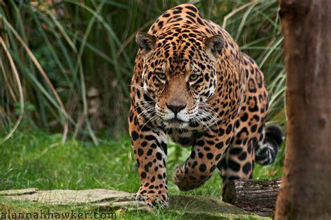 jaguar vs bengal tiger battles comic vine