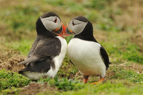 puffins in mating season skomer island anne marie