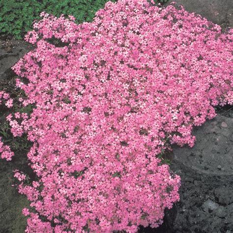 moerheim beauty carpet phlox easy ground cover perennials
