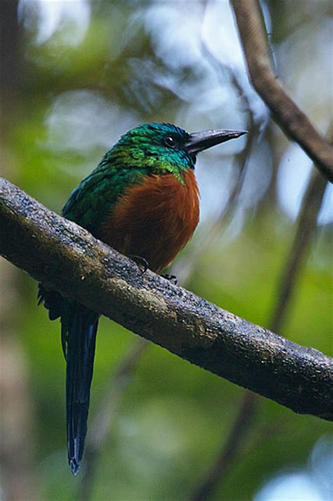 great jacamar birds of panama large bird photo gallery