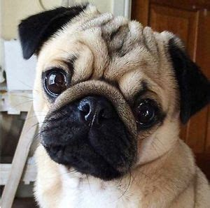 pug kijiji pugs kijiji free classifieds in ontario find a buy a car find a house or
