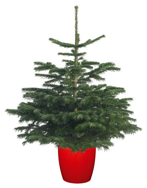 nordmann fir pot grown christmas trees delivered