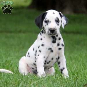 dalmatian puppies for sale in pa dalmatian puppies for sale dalmatian breed profile greenfield puppies