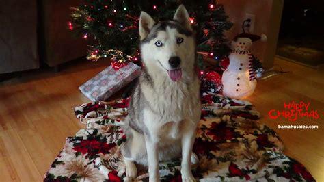 christmas siberian husky pictures siberian husky puppies  sale