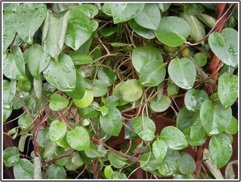 khasiat tanaman binahong  resep ampuhnya obat