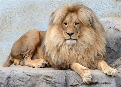 lion s bouffant style hair makes it the mane attraction at