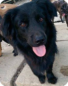 flat coated retriever flat 1503149471 encino ca flat coated retriever meet oscar a dog for adoption