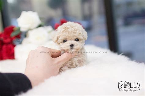 poodle puppies for sale near me sold to oliveira poodle f rolly teacup puppies