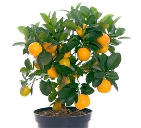 new year citrus tree los 225 rboles en miniatura de frutas