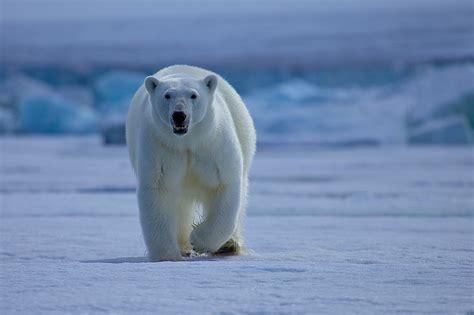 imagenes de paisajes montañosos oso polar