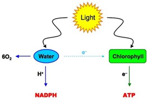 102 the light dependent reactions photophosphorilation