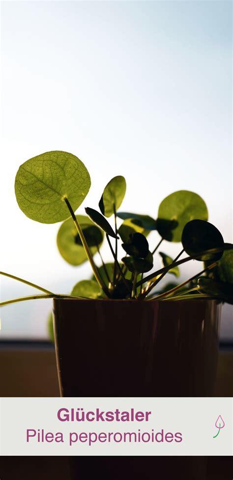 Pilea Peperomioides Pflege by Ufopflanze Pilea Peperomioides Pflanzen Und Pflegen