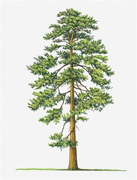 illustration of evergreen pinus ponderosa ponderosa pine