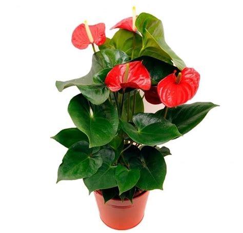 significato dei fiori anthurium anthurium anthurium andraeanum piante appartamento