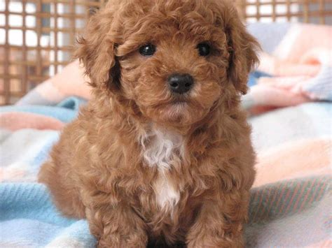 miniature poodle lifespan shih tzu cross poodle breed temperament and