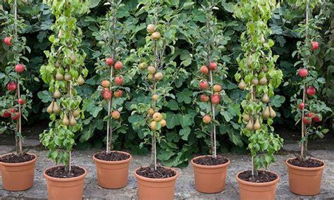 columnar fruit trees groupon goods