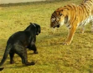 Jaguar Versus Tiger Saudi Arabia Hunt Who Stole Tiger Jaguar And