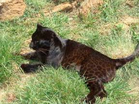 Florida Jaguar Black Cat Appreciation Day Do You Your Melanistic