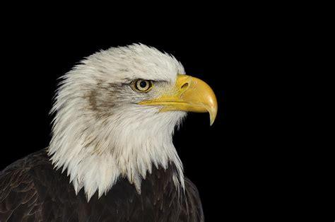 The Bald Eagle American Symbols bald eagle emblem images