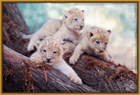 imagenes tiernas de leones imagenes de leones bebes tiernos archivos imagenes de leones