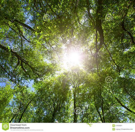 tree top light green forest sun light through treetops stock image