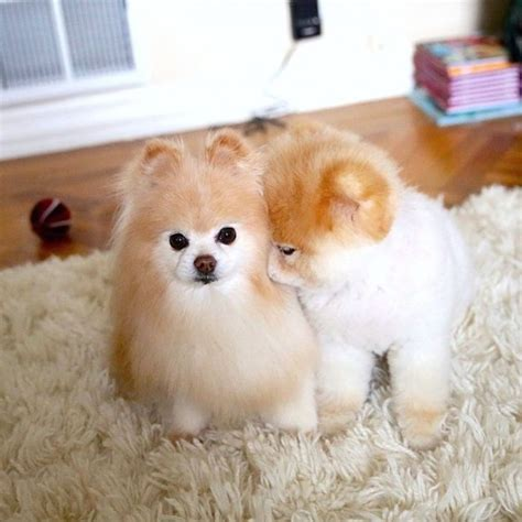 buddy the pomeranian buddy and boo the quotes