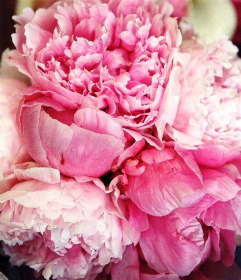 pink peonies nursery peonies peonies peonies favorite things and people