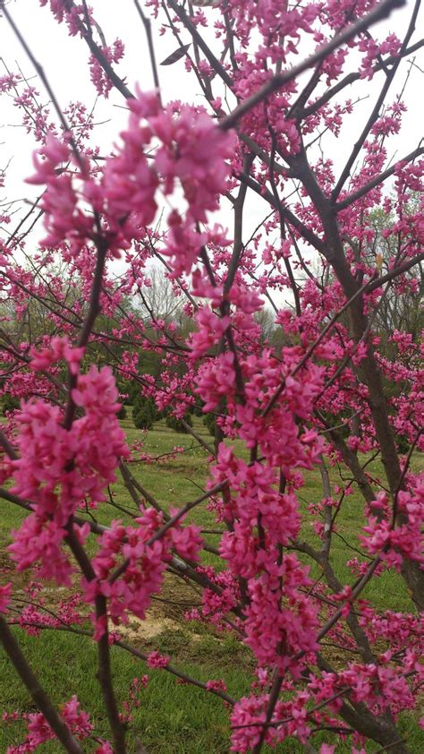 japanese redbud tree photos 17 best images about small trees excluding japanese maples on prunus cherries and