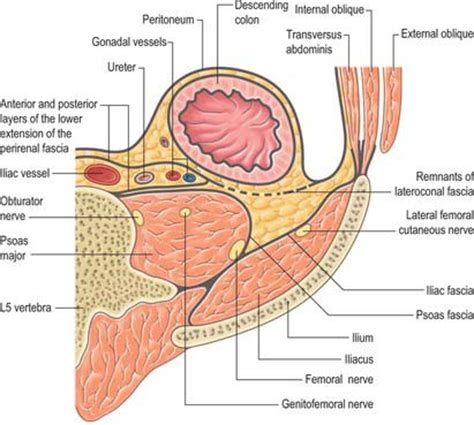 transverse section of the abdomen photos abdominal wall layers anatomy diagram charts
