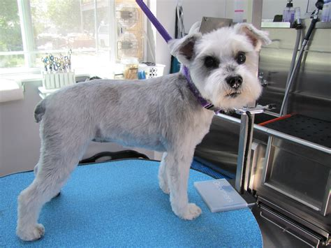 teddy haircut schnoodle haircut pictures hairstylegalleries